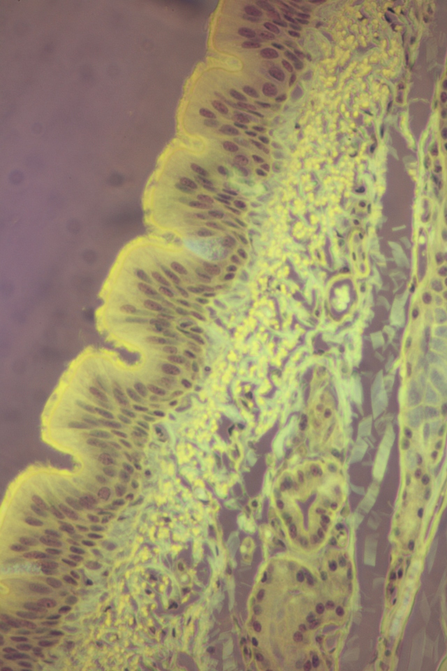 pseudostratified columnar epithelium (fluorescent)